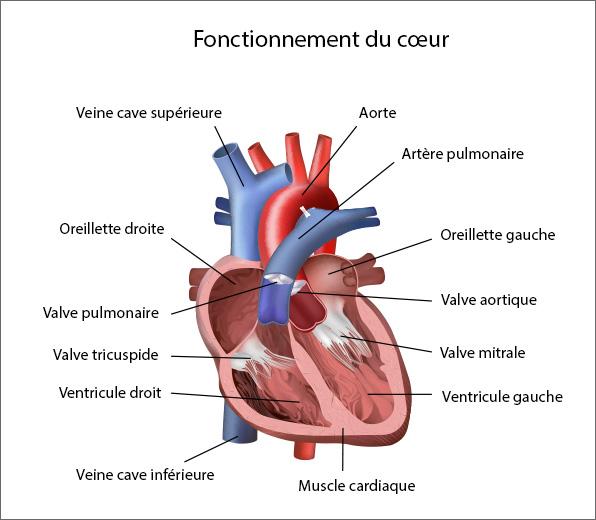 Fonctionnement du coeur
